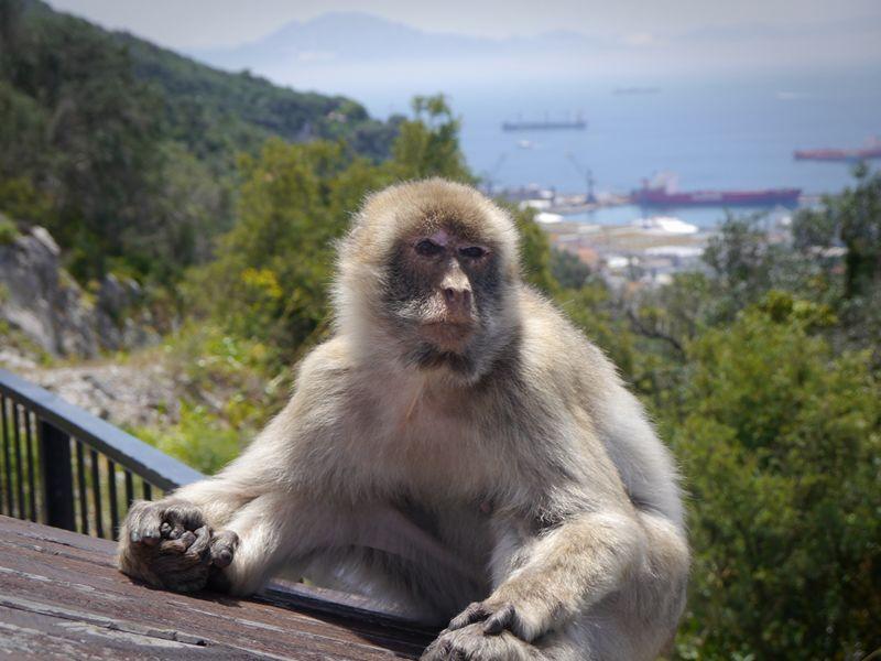 A Barbary macaque in Gibraltar.