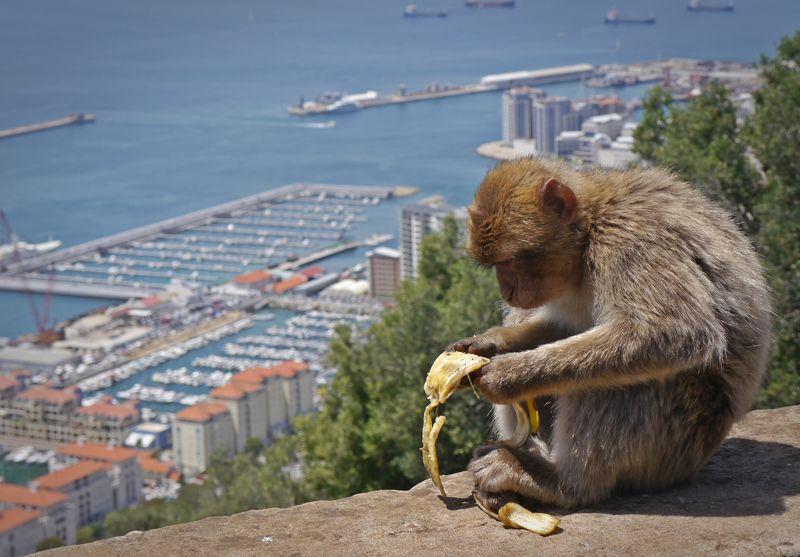 monkey eating a banana in Gibraltar