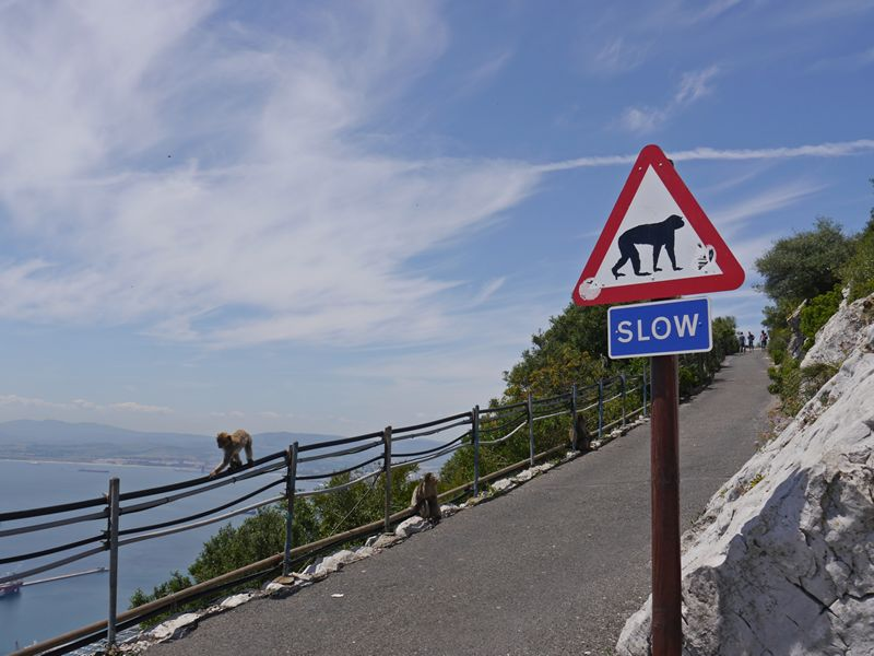 Gibraltar road with monkey