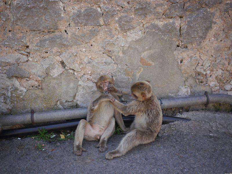 two baby monkeys in Gibraltar national park
