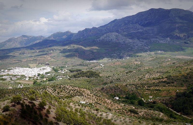 olive trees near Ronda