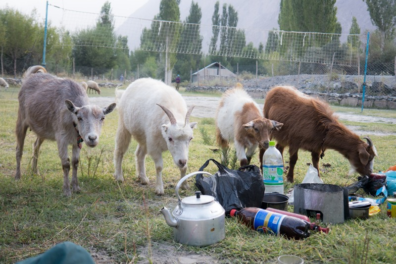 A picture of goats sniffing our pots and pans